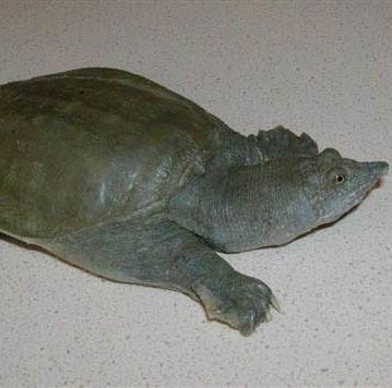 Kỳ lạ loài rùa thải nước tiểu qua miệng