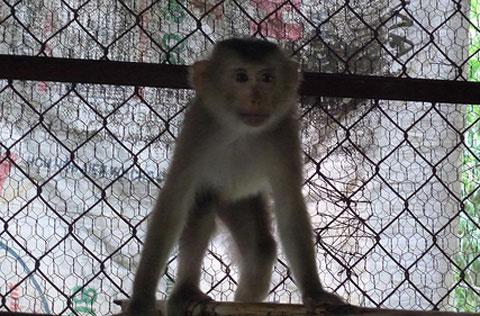 Cứu hộ khỉ đuôi lợn