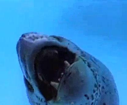Video: Hải cẩu rình chim cánh cụt
