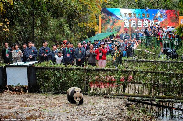 Trung Quốc thả gấu trúc về tự nhiên