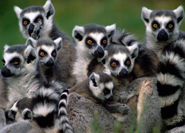 25 loài linh trưởng quý ở châu Á, Phi sắp biến mất