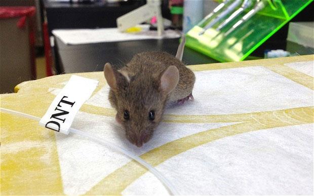 Khả năng phát hiện chất nổ DNT của chuột biến đổi gene cao gấp 500 lần chuột thường.