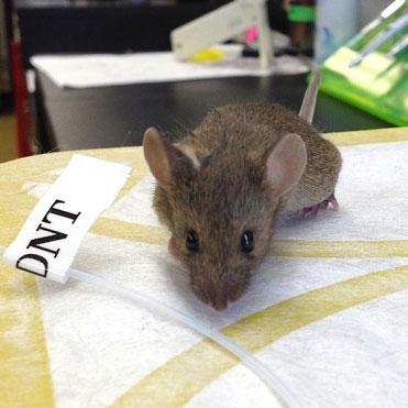 Dò mìn bằng chuột biến đổi gene