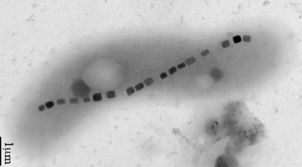Vi khuẩn magnetotactic