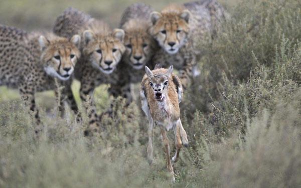 Một con linh dương chạy trốn trước những cặp mắt rình rập của 4 con báo đốm ở Công viên quốc gia Serengeti, Tanzania. Sau khi bị bắt, báo mẹ sẽ không giết con linh dương mà để nó trở thành đối tượng cho báo con tập săn mồi.