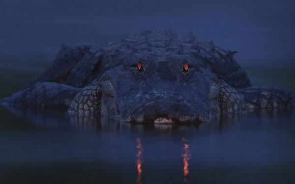 Ánh sáng màu đỏ phát ra từ đôi mắt của một con cá sấu tại Công viên quốc gia sông Myakka ở Florida, Mỹ.