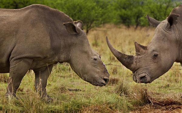 Cuộc đối đầu không cân sức giữa 2 con tê giác ở Khu bảo tồn Tugela tại KwaZulu-Natal, Nam Phi. Trong đó, một con tê giác bị thợ săn tấn công và cắt mất sừng.