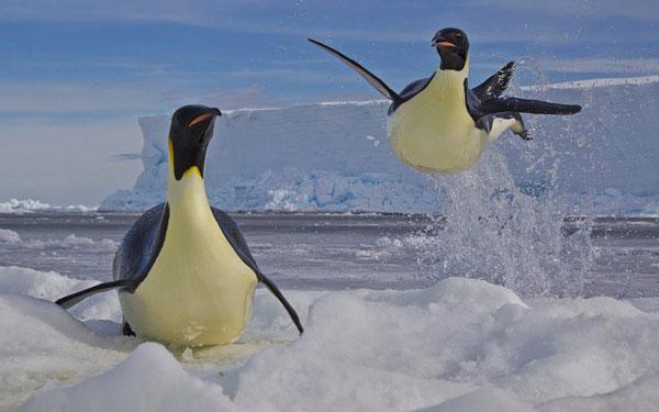 Một con chim cánh cụt hoàng đế lao từ dưới nước lên tảng băng ở Biển Ross, Nam Cực. Trong quá trình kiếm ăn dưới nước, chim cánh cụt phải luôn để mắt đến lũ báo biển hung ác và nhanh chân lao lên bờ nếu phát hiện sự xuất hiện của kẻ săn mồi.