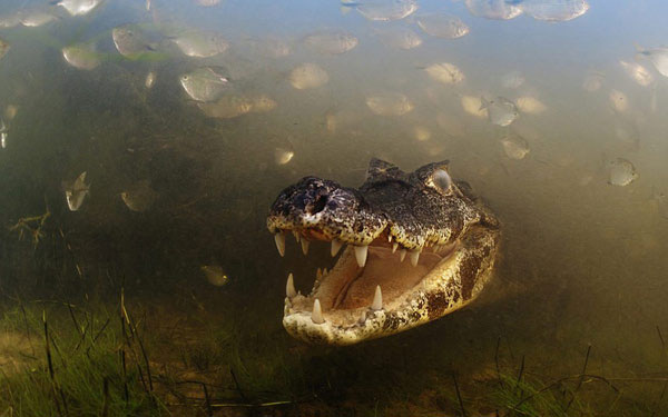 Con cá sấu há miệng và chờ đợi săn mồi ở đầm lầy Pantanal, Brazil.