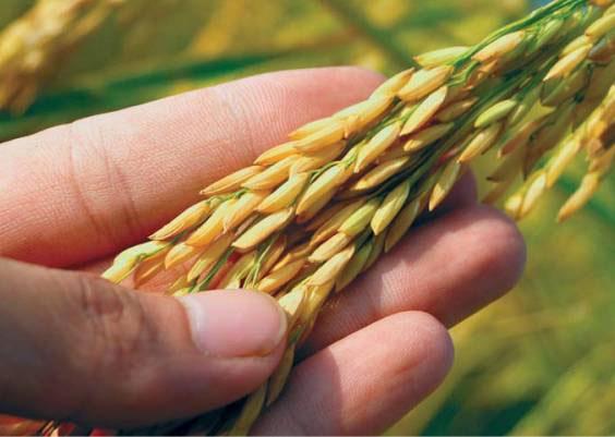 Nghiên cứu hạt giống cao sản