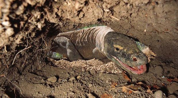 Sinh sản, làm tổ và bảo vệ tổ làm cho rồng cái chết sớm hơn rồng đực