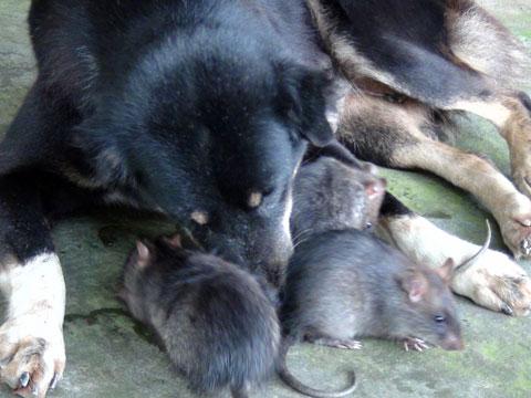 """Chó làm """"bảo mẫu"""" cho đàn chuột cống"""