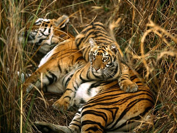 Thuốc Viagra sẽ cứu loài hổ ở Trung Quốc khỏi nguy cơ tuyệt chủng.