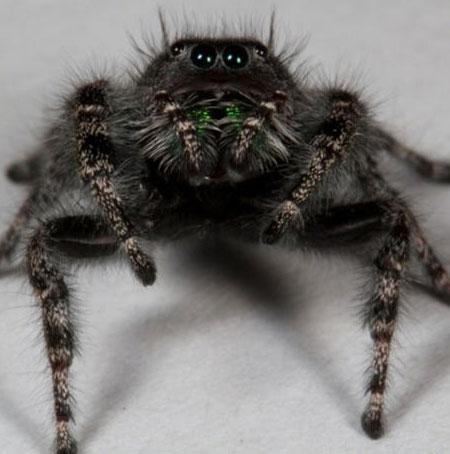 Phát hiện loài nhện có 8 mắt