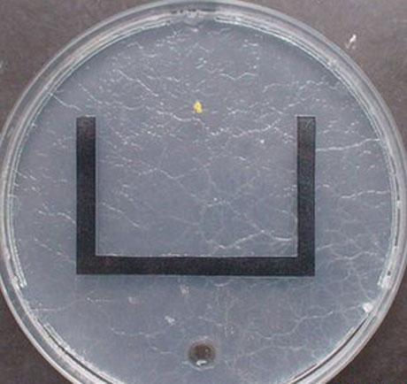 Nấm nhầy di chuyển trong một mê cung hình chữ U để tới vị trí của thức ăn.