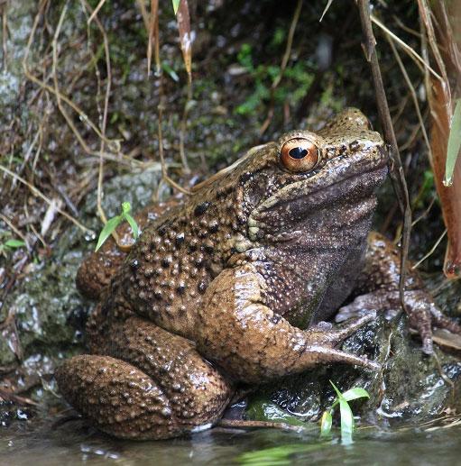 Loài ếch mang vuốt sắc như người sói