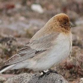 Phát hiện loài chim sẻ núi Sillem sau hơn 80 năm mất tích