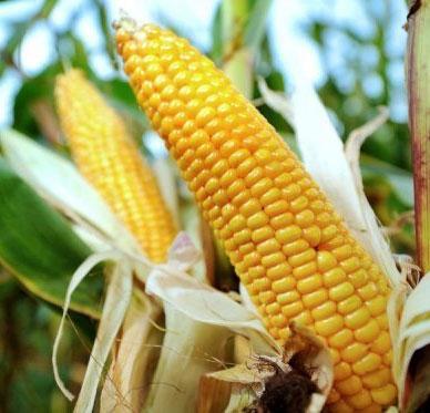 6 viện hàn lâm bác bỏ nghiên cứu ngô GM gây ung thư