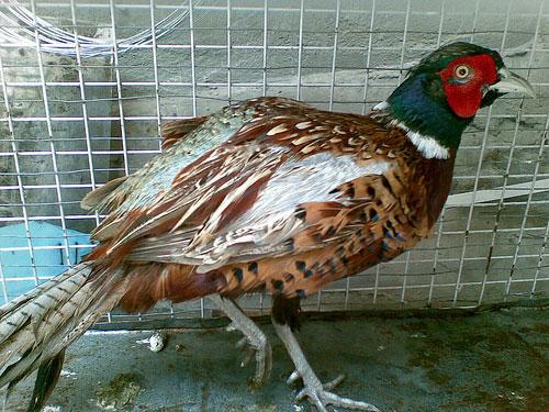 Nhân giống thành công giống chim trĩ đỏ ở Hà Tĩnh