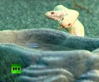 Video: Chung một thân, rắn hai đầu vẫn giành nhau thức ăn