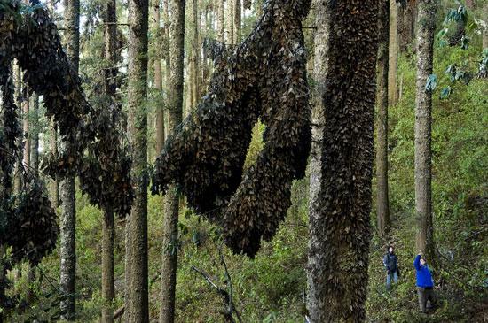 Thung lũng bướm vua kỳ ảo tại châu Mỹ