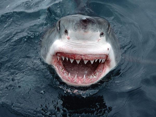 Cá mập trắng khoe hàm răng gớm giếc, thể hiện sức mạnh của hung thần đại dương.