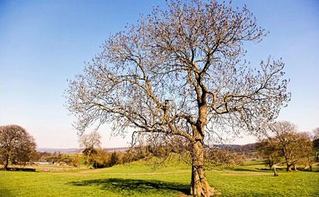 Một cây tần tại Anh bì chết vì nấm Chalara fraxinea.