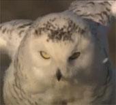 Video: Cú tuyết đuổi chó sói
