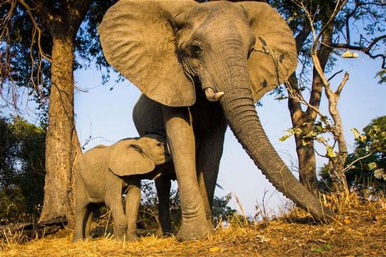 Một voi cái và con của nó tại châu Phi.