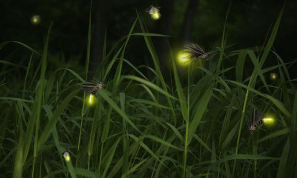 Chế tạo đèn LED từ đom đóm
