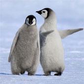 Xem chim cánh cụt dạy bạn cách đi