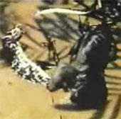 Video: Báo đen hạ gục trăn khổng lồ anaconda