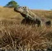 Video: Xem rồng Komodo giết trâu rừng với chỉ 1 vết cắn