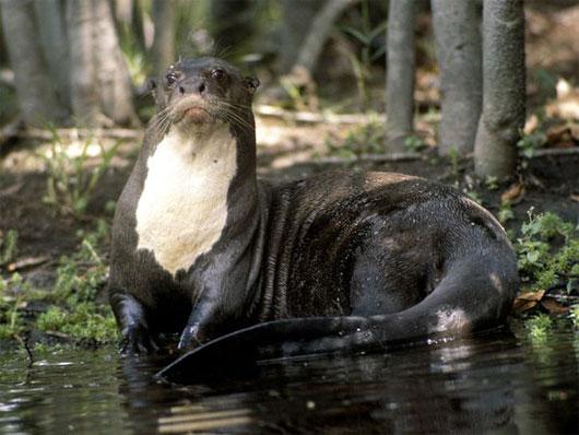 10 loài thủy quái của sông Amazon