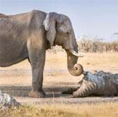 Cảm động cảnh voi vĩnh biệt bạn quá cố