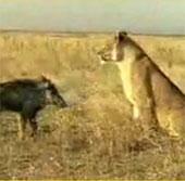Video: Xem sư tử đào hang bắt sống lợn rừng