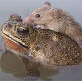 Cóc cứu chuột nhắt khỏi bị chết đuối