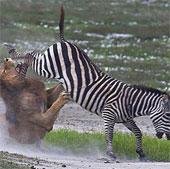 Video: Ngựa vằn tung cước đá lệch hàm sư tử