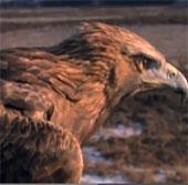 Video: Xem đại bàng săn thỏ trên đồng cỏ