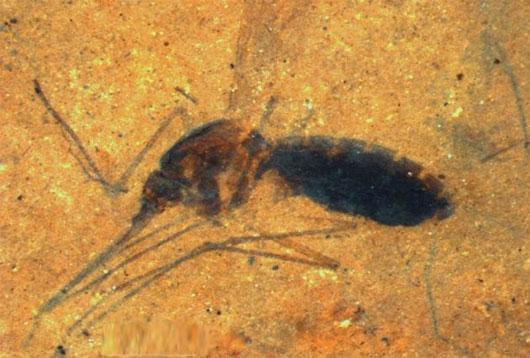 Hóa thạch muỗi 46 triệu năm tuổi