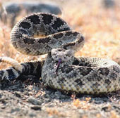 Phát hiện tuyệt chiêu săn mồi có một không hai của rắn