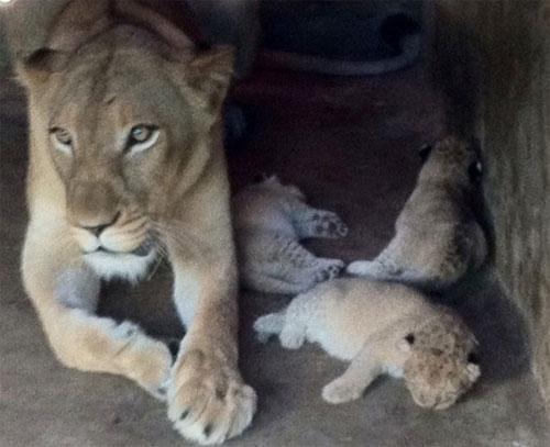 Sư tử đột biến sắc tố tại TP HCM