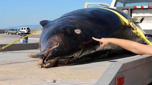 Cá voi hiếm trôi dạt trên bãi biển Mỹ