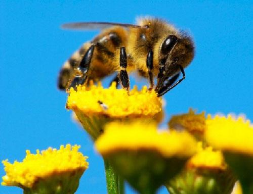 Ong ăn đồng loại