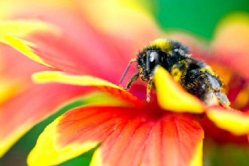 Ong không nhận biết được màu đỏ