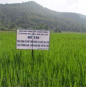 Bắc Cạn bảo tồn giống lúa nếp bản địa quý hiếm