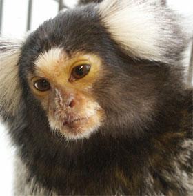 """Loài khỉ có cách """"buôn dưa lê"""" giống như người"""