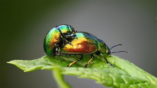 Giải mã hành vi đồng tính ở côn trùng