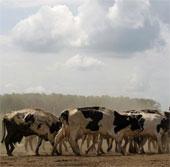 Sản xuất nhiên liệu từ khí ợ hơi của bò