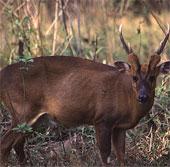 Phát hiện loài mang lớn hiếm ở khu bảo tồn Sao La
